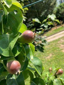 Die Williams-Birnen wachsen